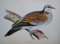 TURTLE DOVE by Rev F.O. MORRIS
