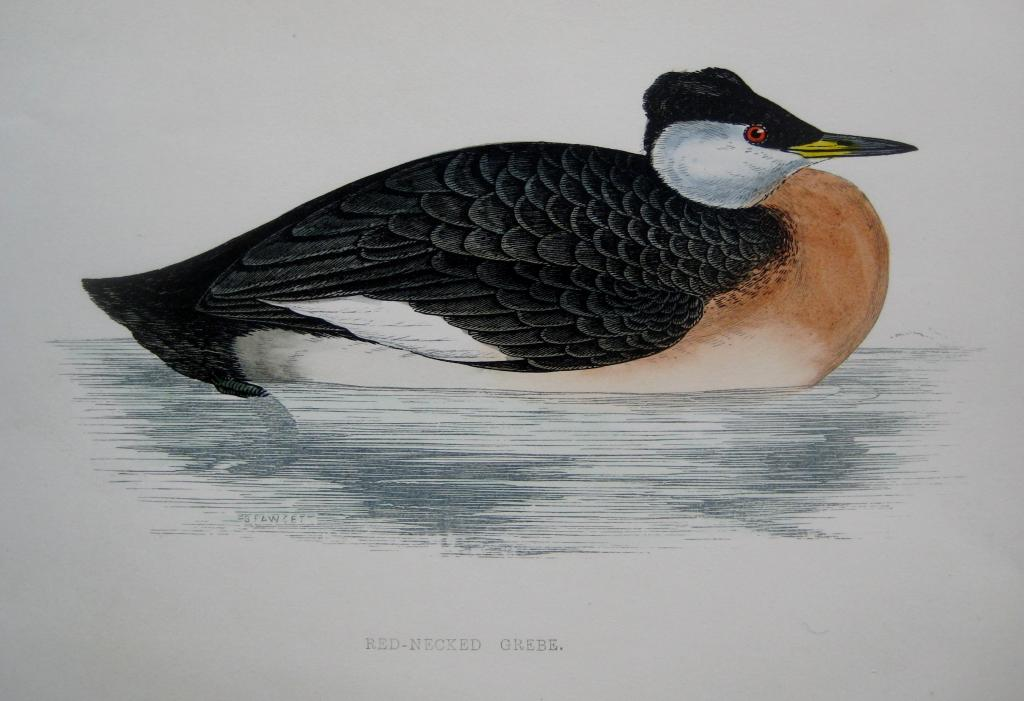 RED NECKED GREBE by REV F.O. MORRIS c1851