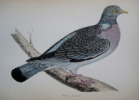 WOOD PIGEON by REV F.O. MORRIS c1851
