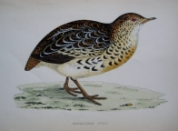 ANDALUSIAN QUAIL by REV F.O. MORRIS c1851