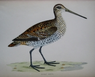 GREAT SNIPE by REV F.O. MORRIS c1851