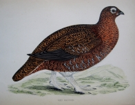 RED GROUSE by F.O. MORRIS c1851