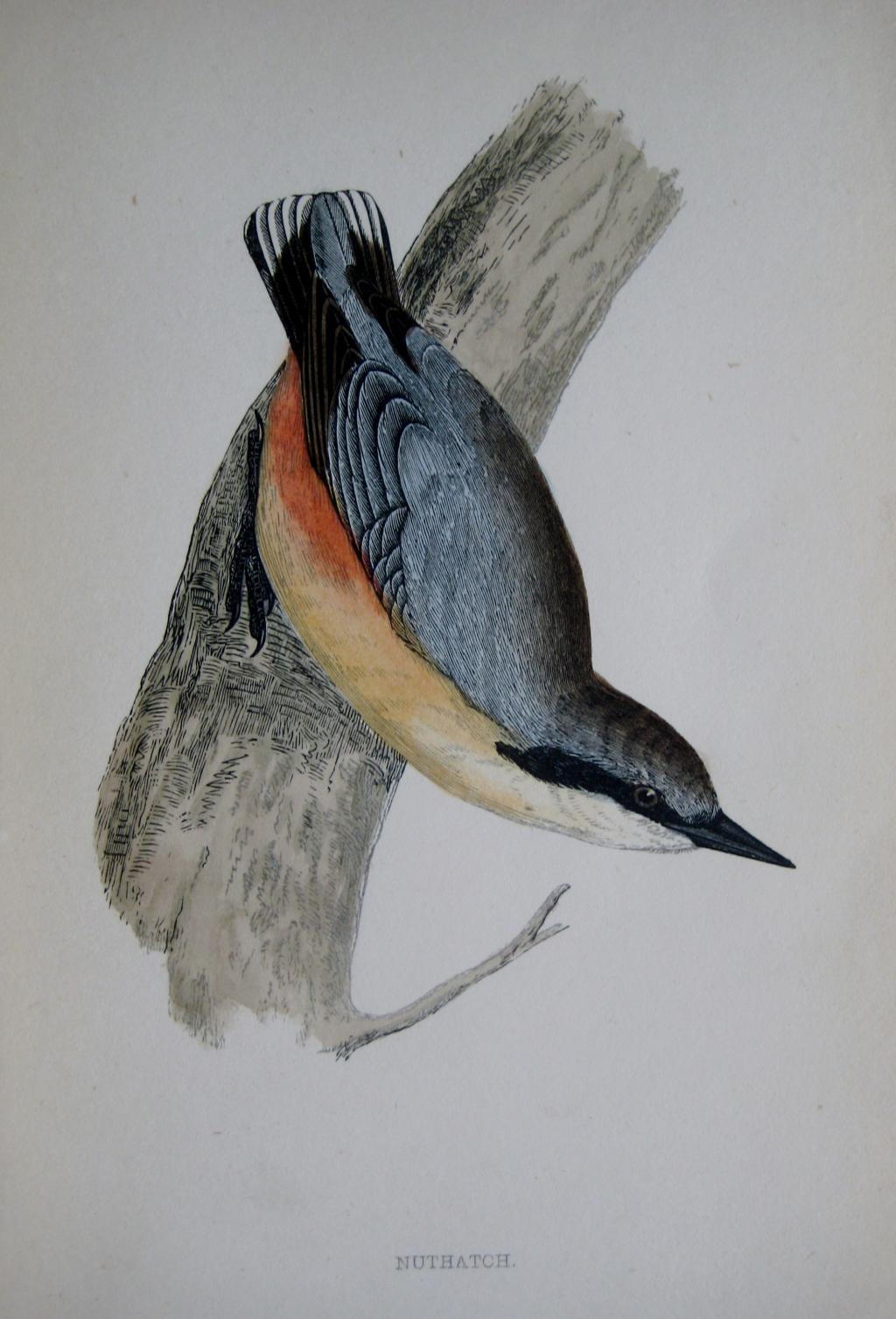 NUTHATCH by REV F.O. MORRIS c1851
