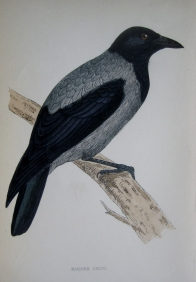 HOODED CROW by REV F.. MORRIS c1851