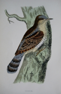 WRYNECK by REV F.O. MORRIS   c1851