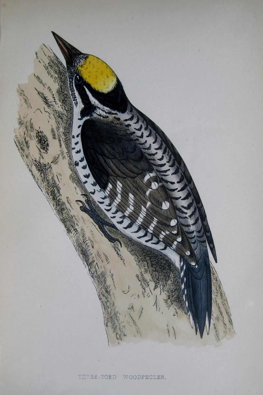 WOODPECKER by REV F.O. MORRIS c1851