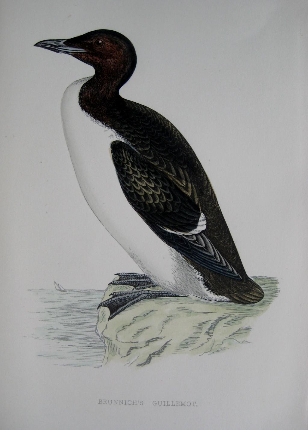 GUILLEMOT by REV F.O. MORRIS c1851