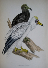 EGYPTION VULTURE by F.O. MORRIS c1851