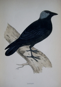 JACKDAW by REV F.O. MORRIS c1851