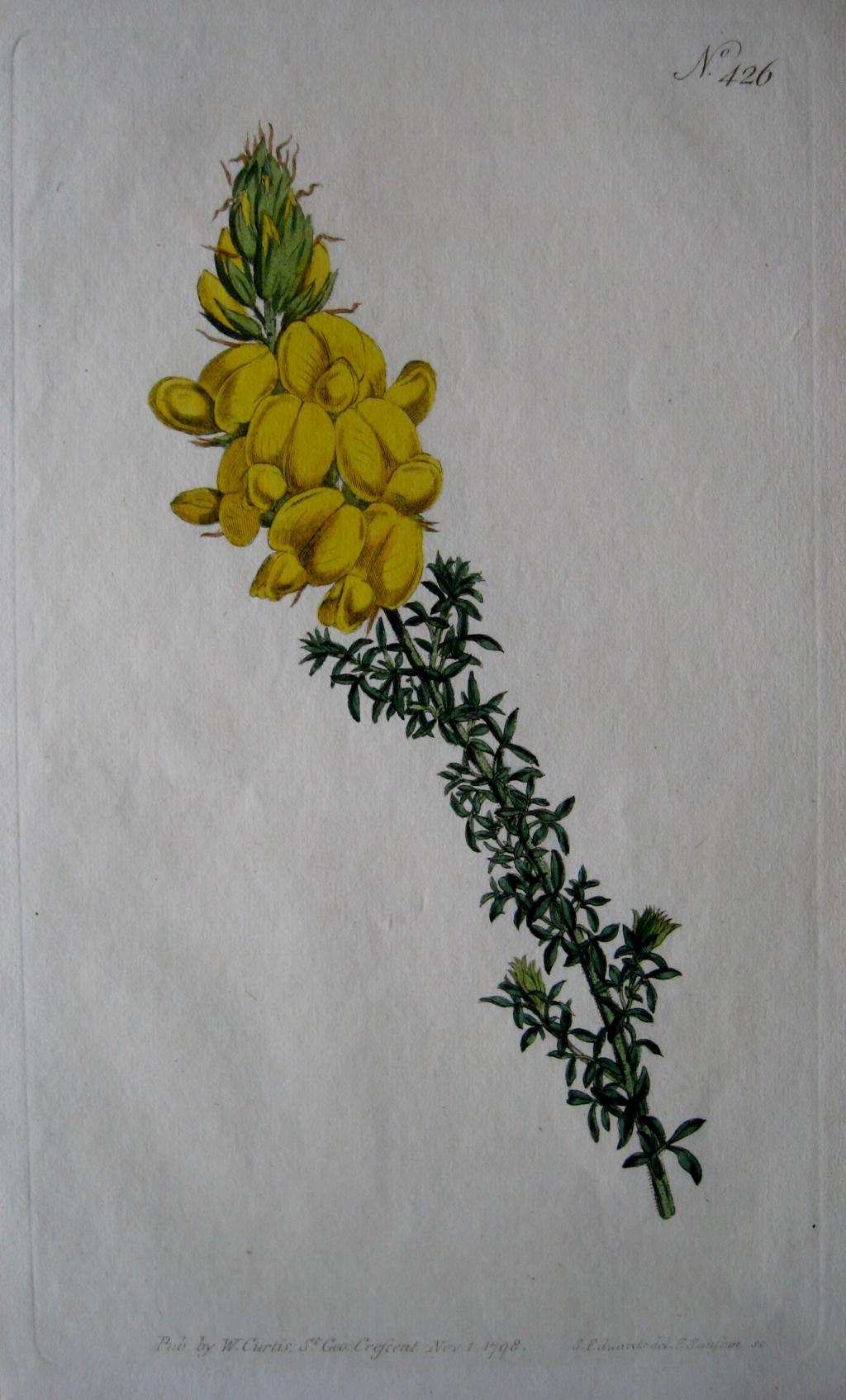 LEAFY CYTISUS BY WILLIAM CURTIS C1798