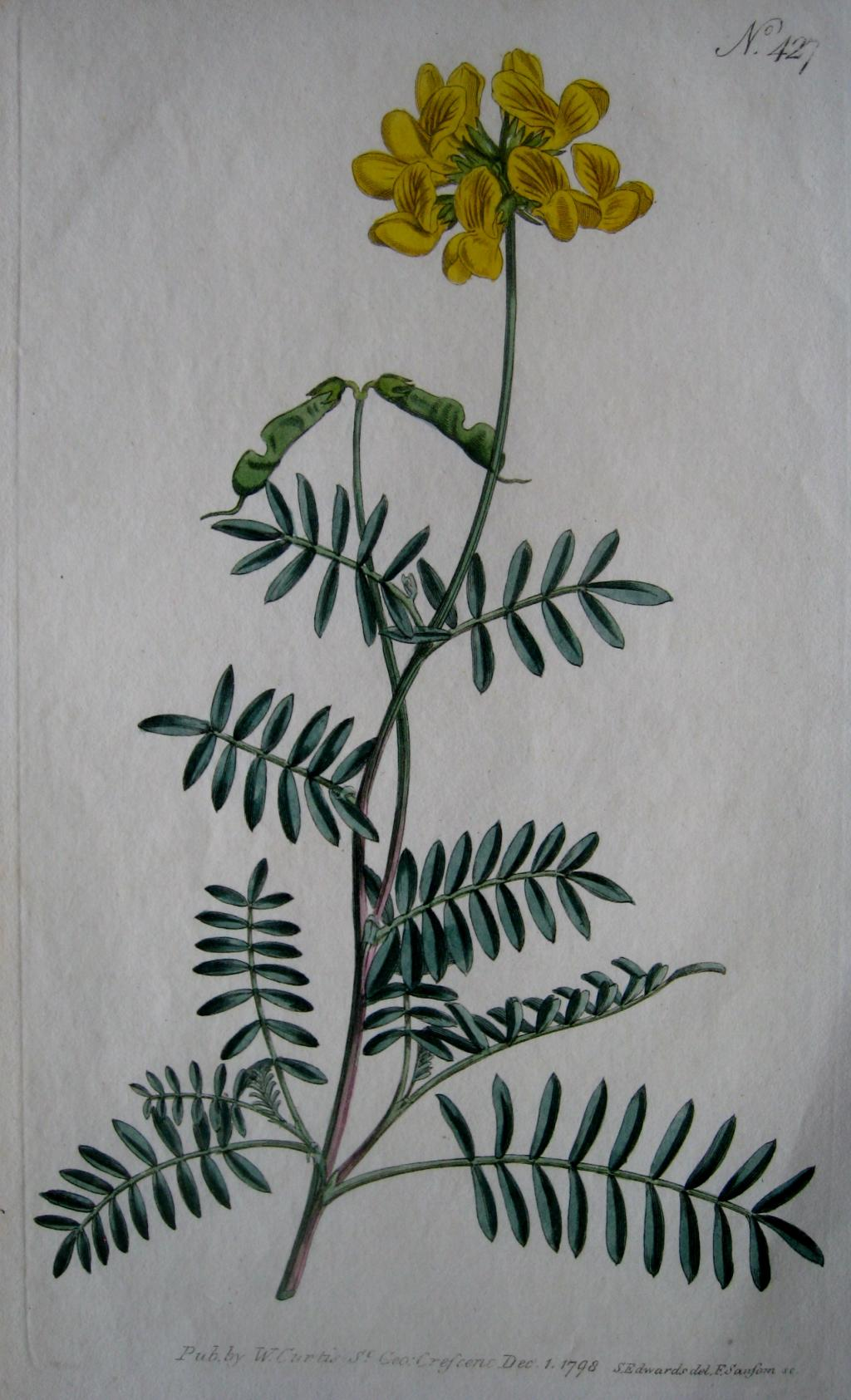 HORSESHOE VETCH BY WILLIAM CURTIS C1798