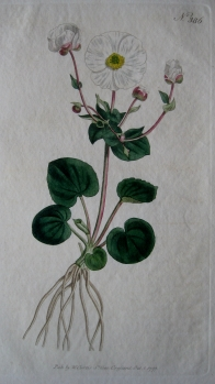 PARNASSIA LEAVED CROWFOOT BY WILLIAM CURTIS C1797