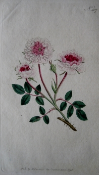 POMPONE ROSE BY WILLIAM CURTIS C1798