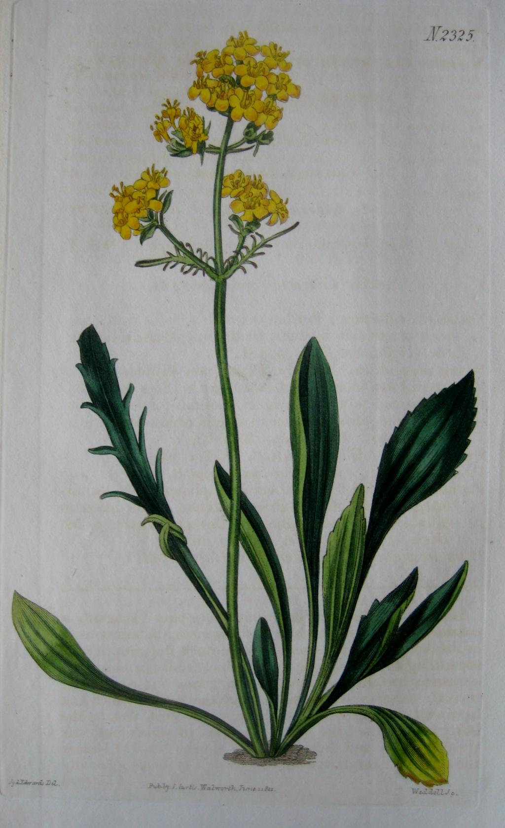 ALTAIC VALERIAN BY CURTIS & EDWARDS C1822