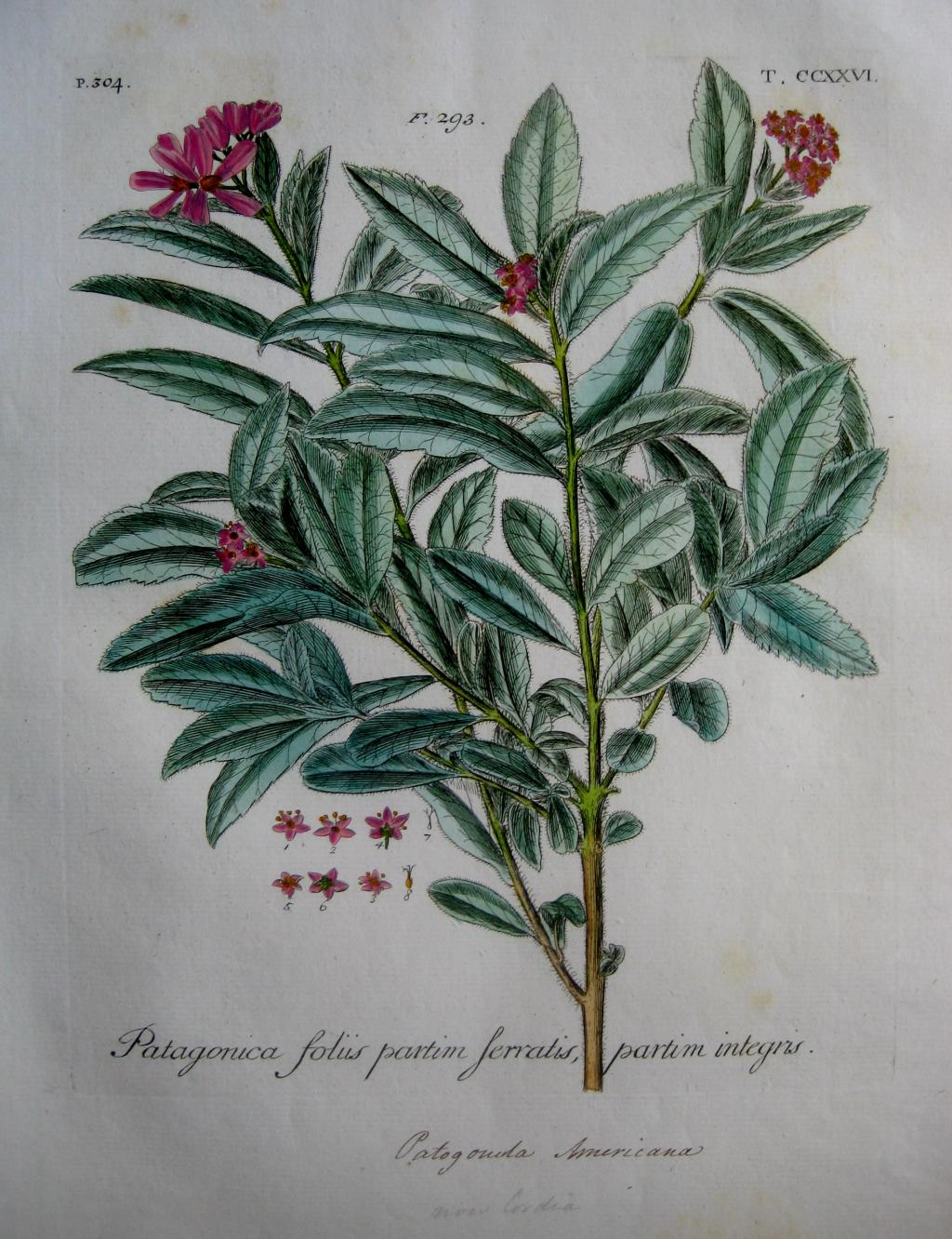 FINE HAND COLOURED ENGRAVING BY DILLENIUS C1732